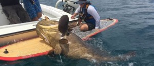 First Known Goliath Grouper Ever Landed Off Stand Up Paddle Board!