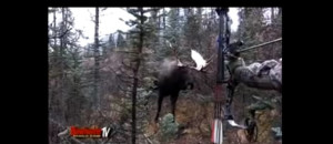Moose Shot With Bow Then Charges Hunter!