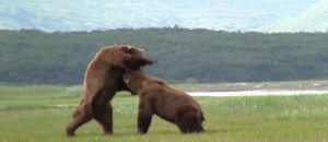 Battle Of The Giant Alaskan Grizzlies!