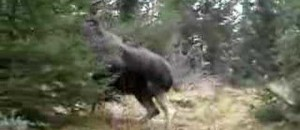 Brave Dog - Humongous Moose!