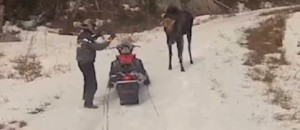 Watch These Idiots Chase A Moose And Fire In The Air. The Moose Would Not Tolerate It...