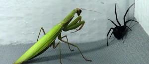 Black Widow -Vs- Praying Mantis: Spiders Infest My House