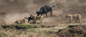 Hero Buffalo Saves Calf From Pride Of Lions